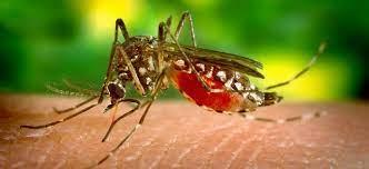 Tigrasti komar napade podnevi